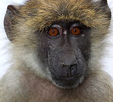 Olive Baboon Juvenile by Carole-Anne