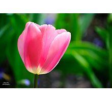 Pinkish Tulip Closeup Photographic Print