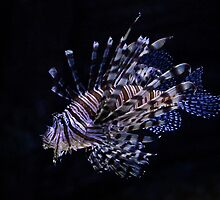 Lion Fish 4 by gmpepprell