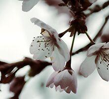 Cherry Blossom by aandm-photo