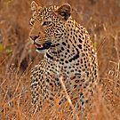Evening Leopard, Kruger National Park by Explorations Africa Dan MacKenzie