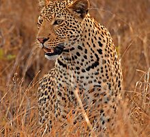 Evening Leopard, Kruger National Park by Dan MacKenzie