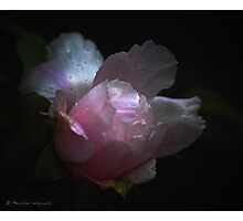 Peony in the rain Photographic Print