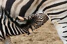 Chapman Zebra Baby by Jo Nijenhuis