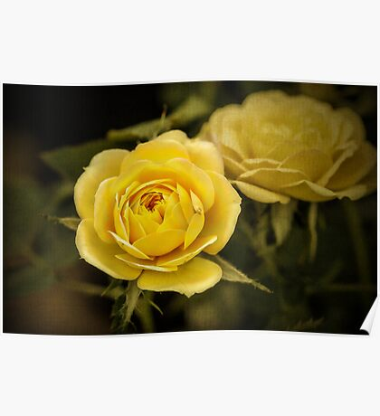 Yellow Roses - textured Poster