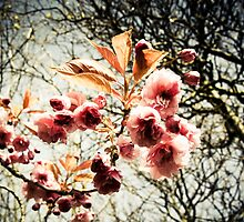 Retro effect cherry tree blossom by Moonlake