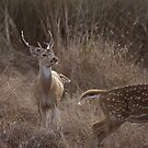 Chital in rut by Yves Roumazeilles