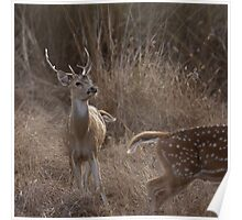 Chital in rut Poster