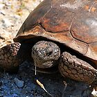 Gopher Tortoise by joevoz