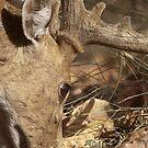 Sambar deer by Yves Roumazeilles