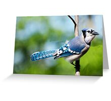 American Blue Jay 2  Greeting Card