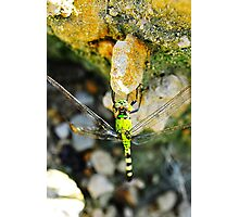 Dragon Fly on a Rock Photographic Print