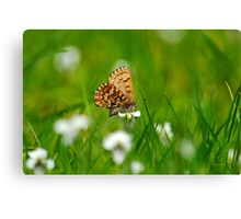 Eastern Pine Elfin Butterfly Canvas Print