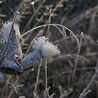 Frost settled on Milkweed in mid-October - Ontario, Canada by logonfire