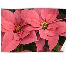 Christmas Greetings with a Vivacious Pink Poinsettia Poster