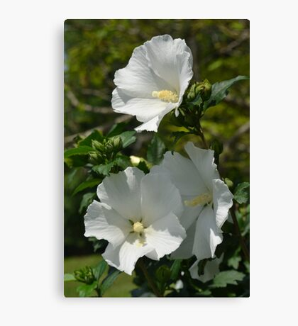 A Family of White Hibiscus Canvas Print