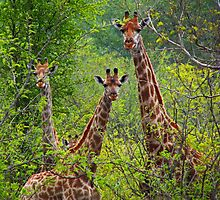 Journey of Giraffe by Explorations Africa Dan MacKenzie