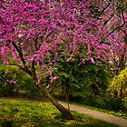 Redbud in bloom by LudaNayvelt