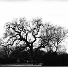 SRJC Oak Tree by mczahar