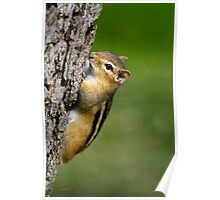 Chipmunk on Tree Poster