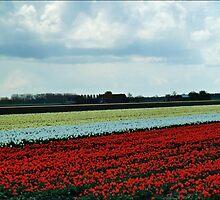 Dutch Tulip Fields. b by Janone