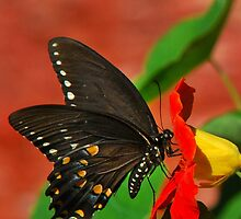 Black Swallowtail Butterfly Art by Christina Rollo