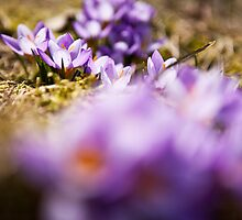 Crocus by Tiina Gill