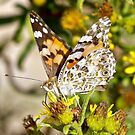 The Painted Lady by dilouise