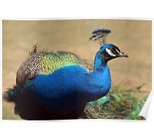 Stunning Indian Peacock  Poster