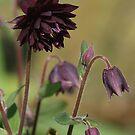 Black Barlow by WatscapePhoto