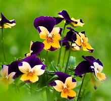 Colorful Viola Flowers by Christina Rollo