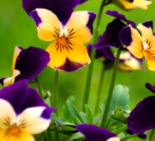 Colorful Viola Flowers Sticker