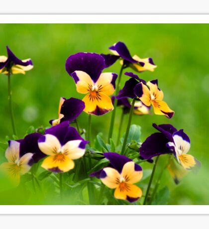 Colorful Viola Flowers Sticker