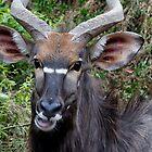 Nyala Male Close Up by Michael  Moss