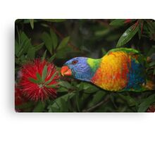 grass parrot in bottle brush Canvas Print
