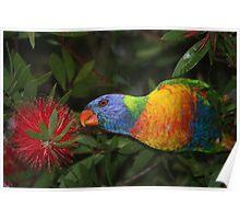 grass parrot in bottle brush Poster