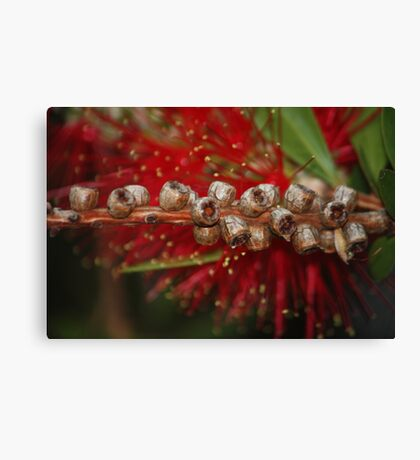 bottle brush nuts Canvas Print