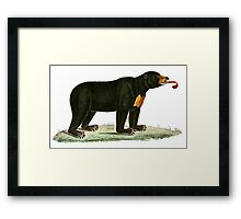 Brown Bear with long curly tongue Vintage Illustration Framed Print