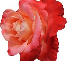 Ombré Red Garden Rose IV - Hipster/Pretty/Trendy Flowers by Vrai Chic