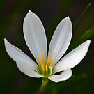 White Rain Lily by TheaShutterbug
