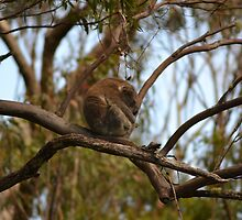 Koala in a Gum Tree by TheaShutterbug