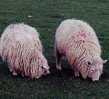 South Devon Two Scruffy looking Sheep Grazeing by richard wolfe