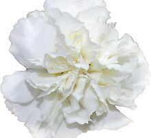 Single White Carnation - Hipster/Pretty/Trendy Flowers by Vrai Chic