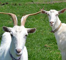 Goats by TheaShutterbug