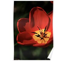 Red Tulip Close Up Poster