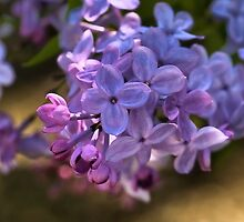 Lilac in bloom  by LudaNayvelt