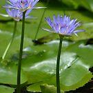 Water Lilies by TheaShutterbug
