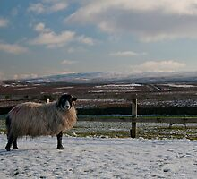A Sheep in the Snow by James Kowacz