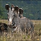 Zebras by smalletphotos