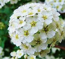 Spirea Japonica or Bridal Veil by barnsis